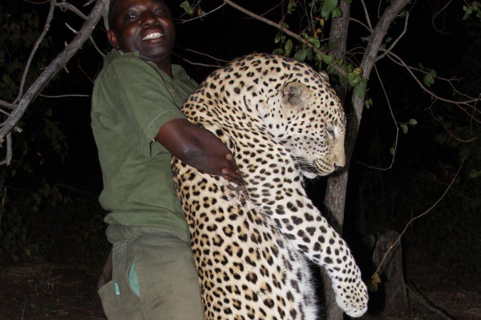hunting_leopard_in_zambia.jpg