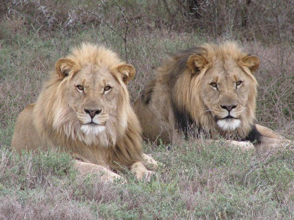Photographic safaris in South Africa - Lion